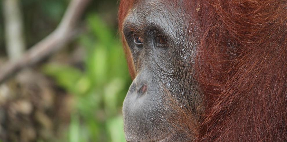 Casi 150.000 orangutanes han muerto en 16 años en Borneo