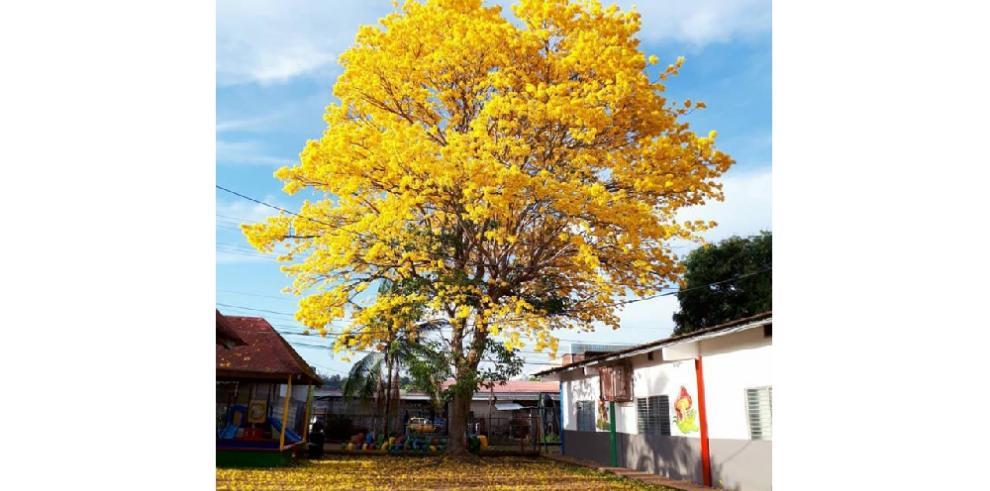 La floración del guayacán, un espectáculo natural