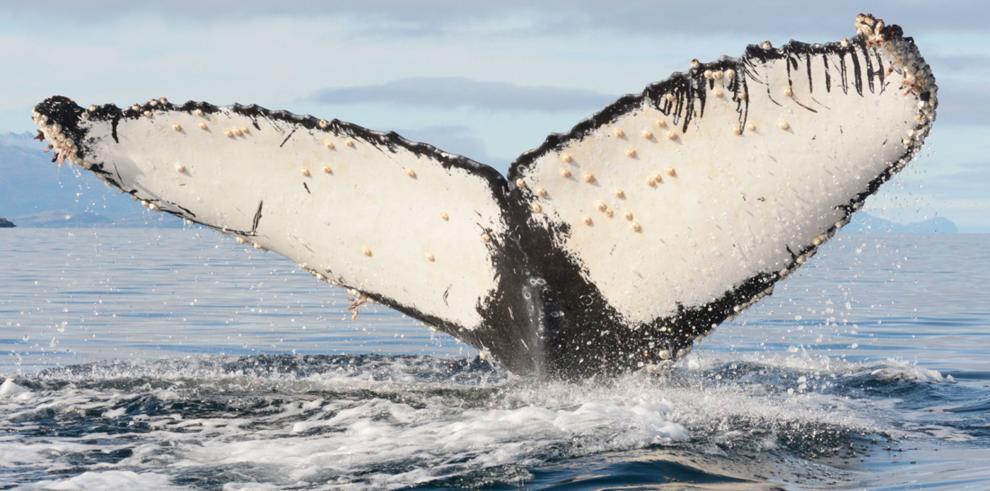 Primer estudio en ballenas jorobadas sobrevivientes de ataques de orcas
