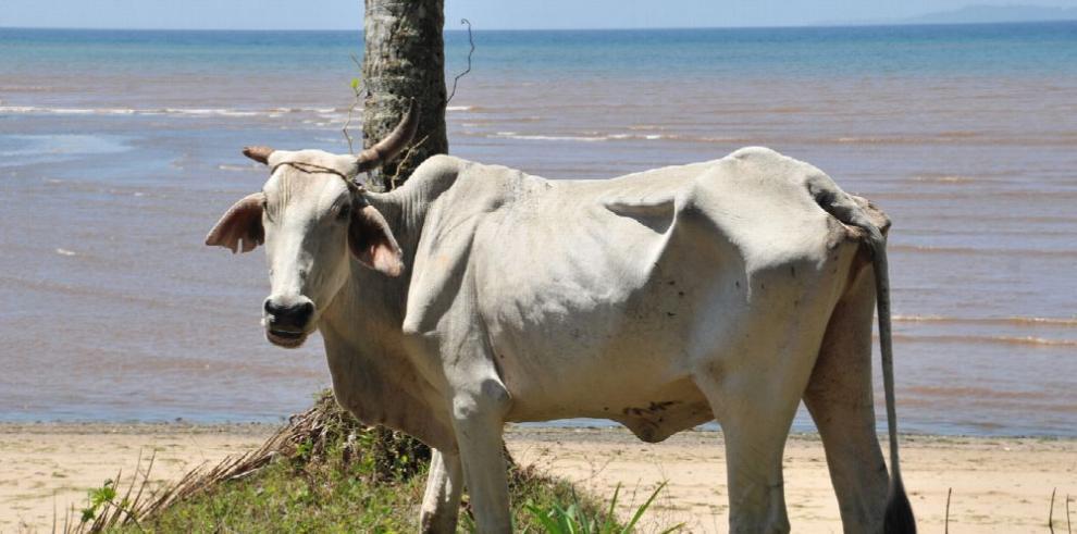 Denuncian pérdida de reses en Coiba