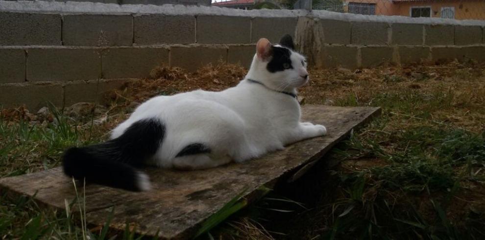 Atrapan en cárcel de Costa Rica gatos entrenados para llevar celulares a reos
