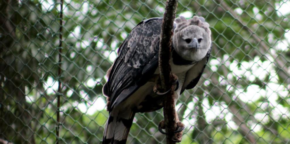 La fiesta del águila harpía será este 15 de abril