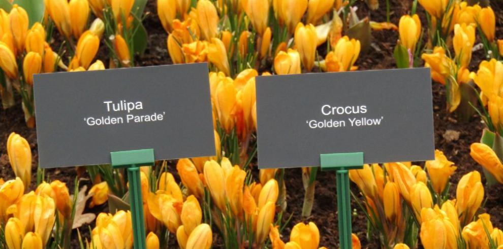 Reencuentro con los tulipanes