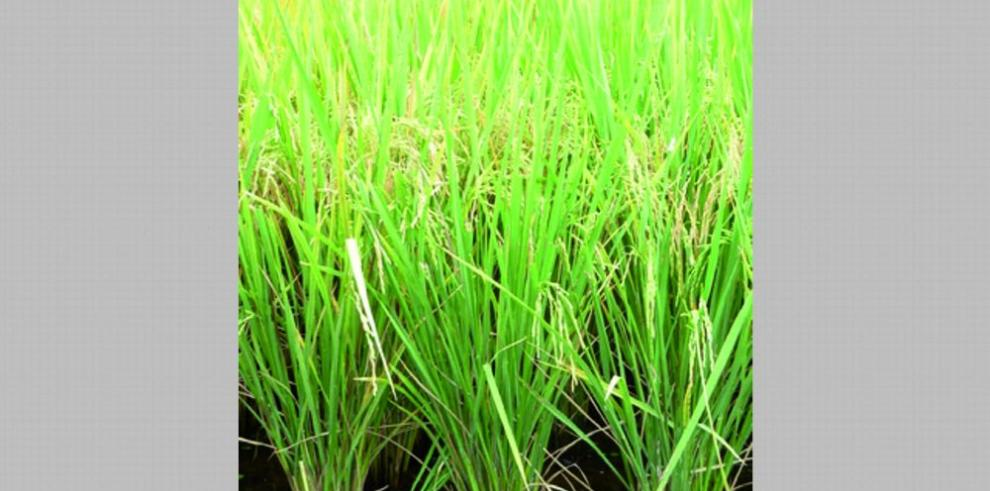 Idiap libera nuevas variedades de granos biofortificados