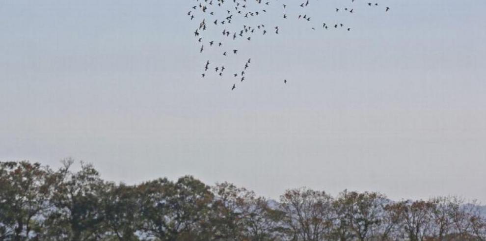 La aventura para avistar millones de aves sobre cielos de Panamá está cerca