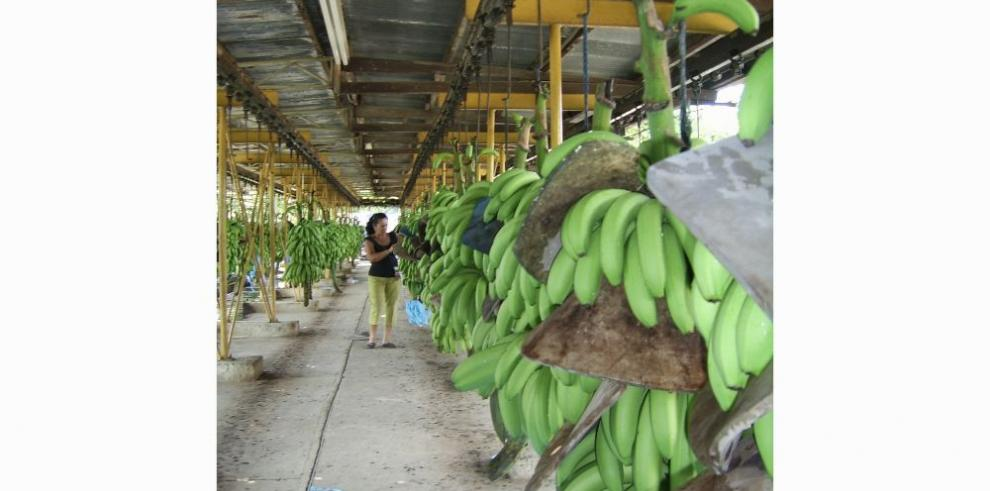 Banano panameño empieza a recobrar su brillo exportable