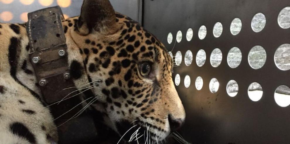 Liberan sana a jaguar que estuvo paralizada tras disparos