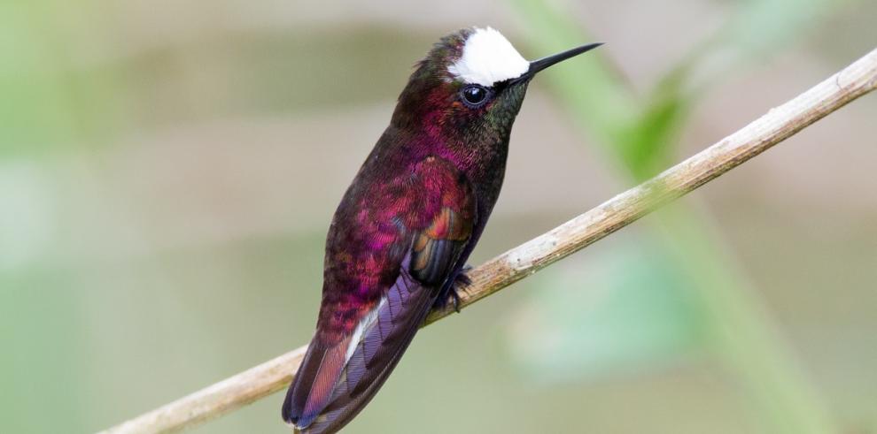 Panamá primer país en Centroamérica con más especies de aves observadas
