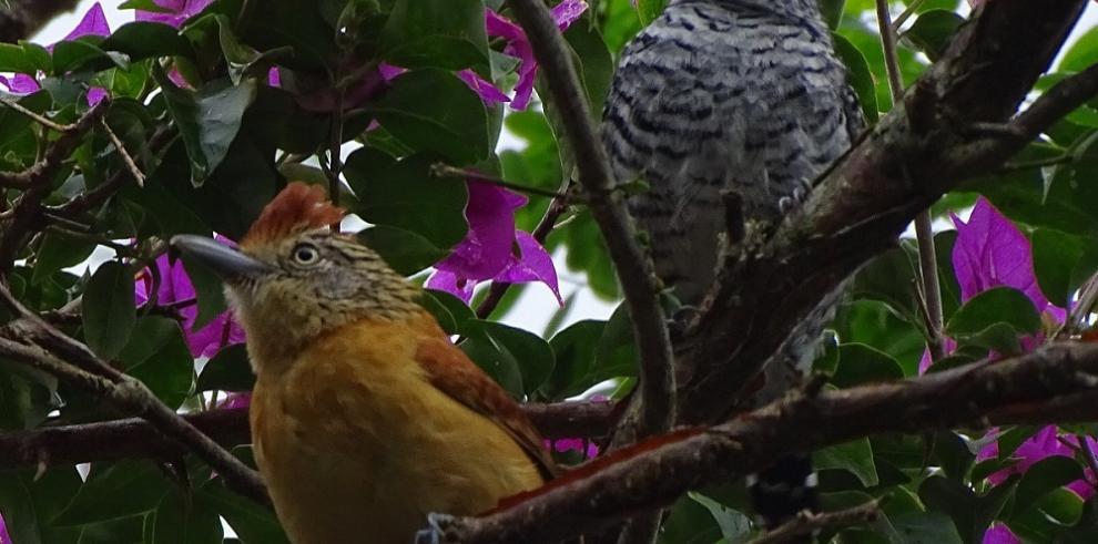 Panamá, sexto país del mundo en avistamiento de aves