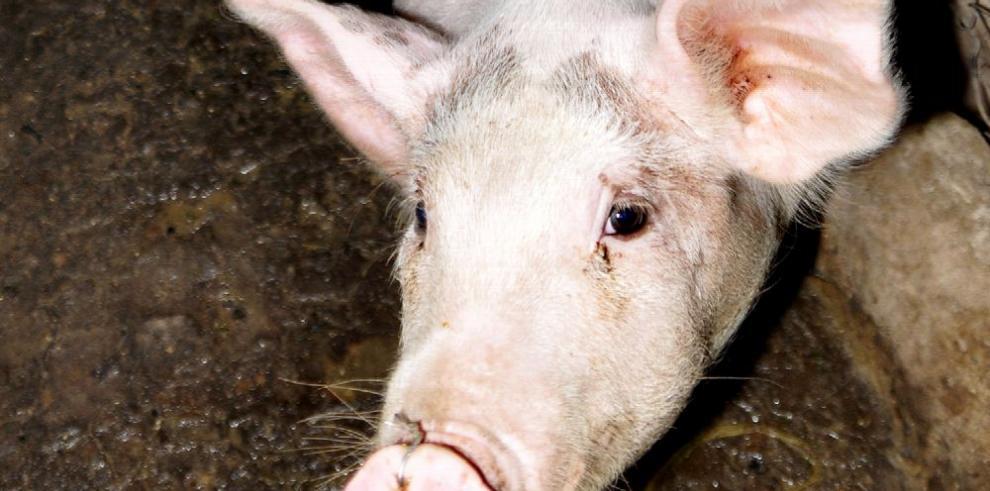 Porcinocultores piden protección al Gobierno