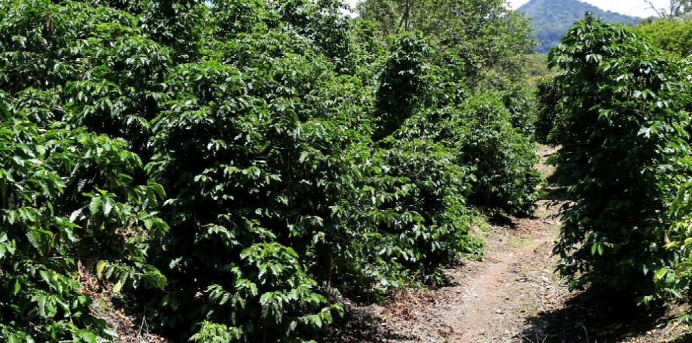 Cómo se produce el mejor café del mundo