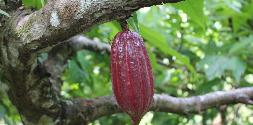 Jardín clonal rescata el cacao criollo bocatoreño