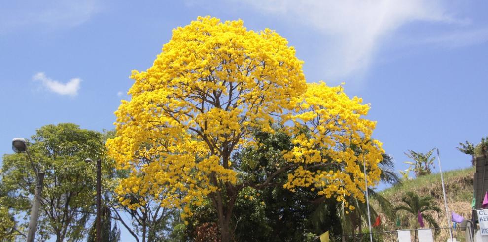 Los guayacanes adornan la ciudad de Panamá