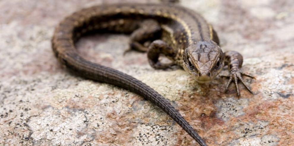 Cambio climático puede amenazar a los reptiles
