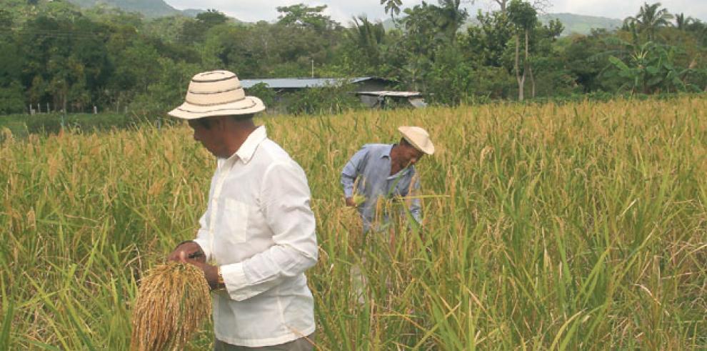 Producción de arroz aumenta 23% en ciclo agrícola 2016-2017