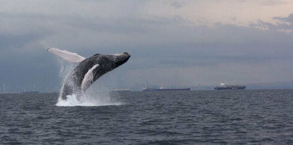 Científicos estudian a las ballenas jorobadas en el Pacífico Sudeste