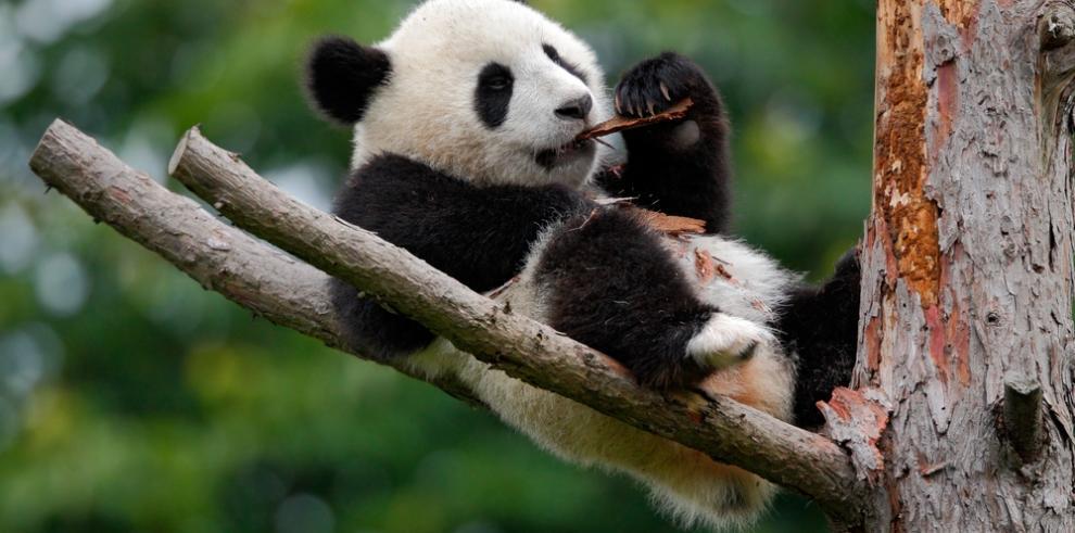 China comienza construcción de biblioteca temática de pandas