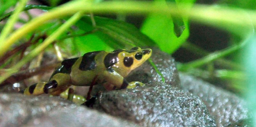 Nueva esperanza para la rana dorada