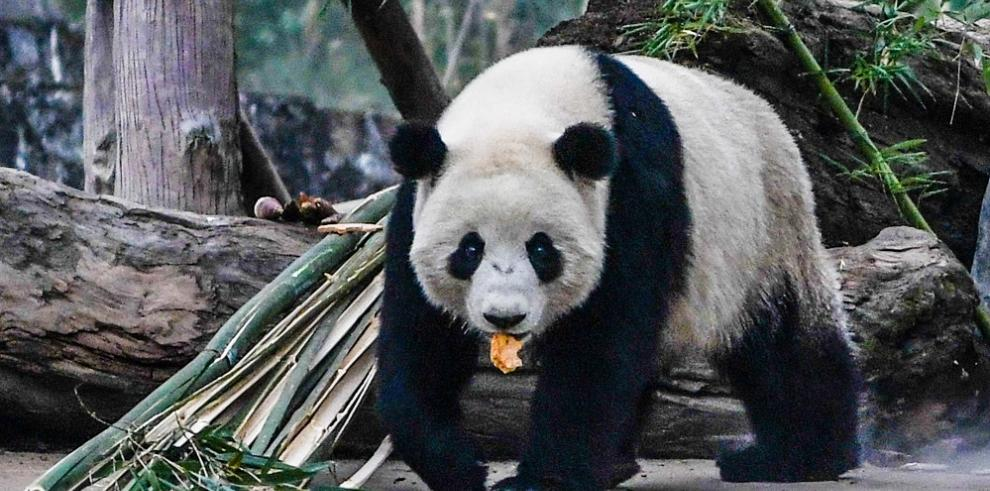 Panda sigue con buena salud luego de vivir 5 años en libertad