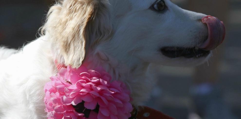 Los perros celebran el carnaval en Brasil y ladran contra su abandono
