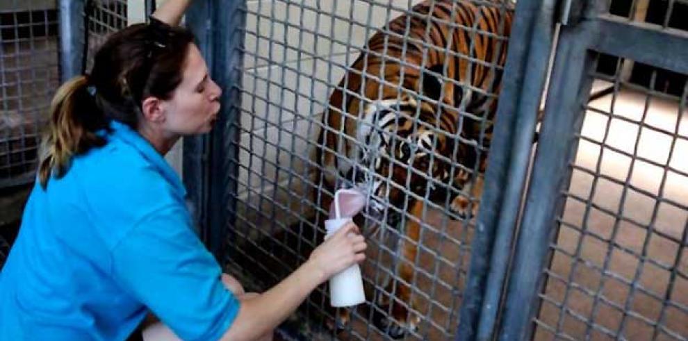 Tigre dio cuenta de su cuidadora en zoológico londinense