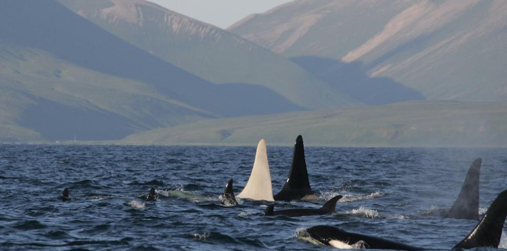 Encuentran al menos 81 orcas muertas en la costa sur de Florida