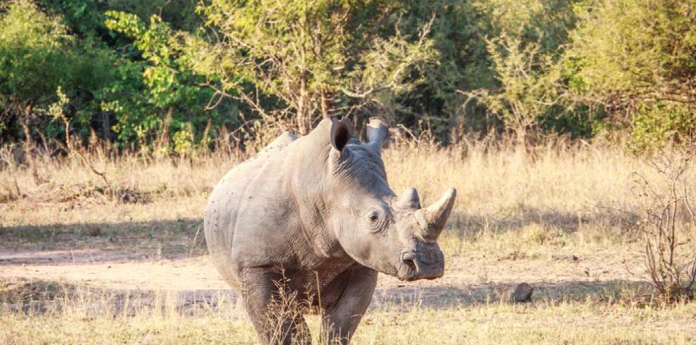 Busca salvar al casi extinto rinoceronte blanco