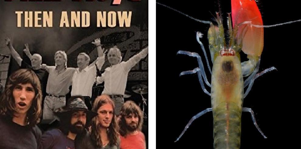 Científicos descubren camarón en Panamá y lo nombranPink Floyd