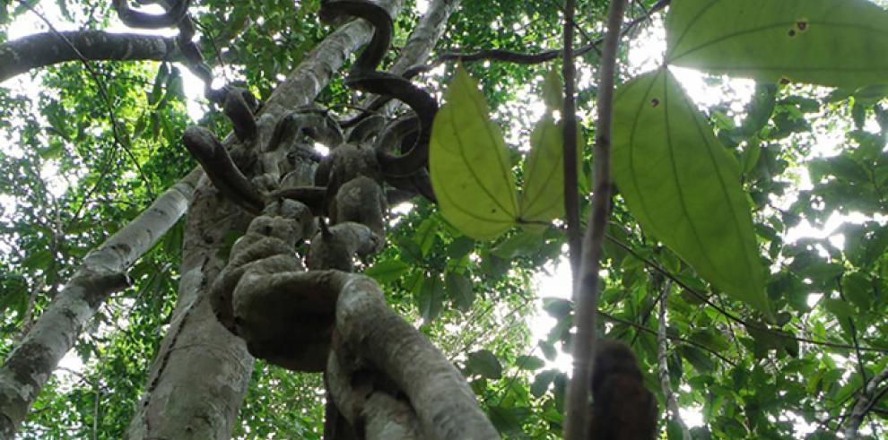Las enredaderas frenan la producción de semillas y frutos de la flora tropical
