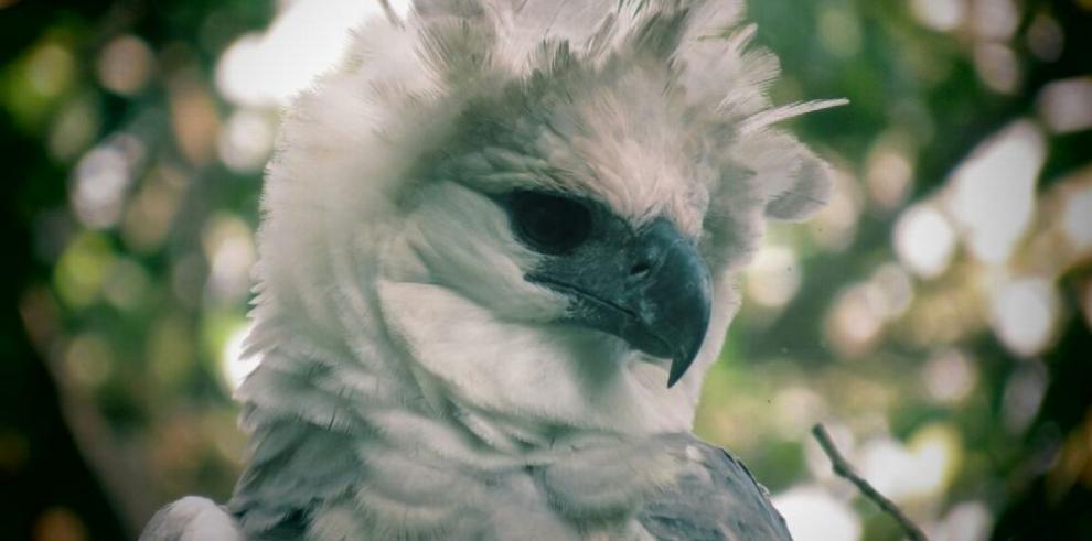 Donoso, nuevo hábitat de la harpía