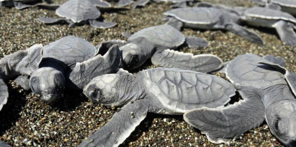 Se inicia temporada de anidación de tortugas en playa Mata Oscura