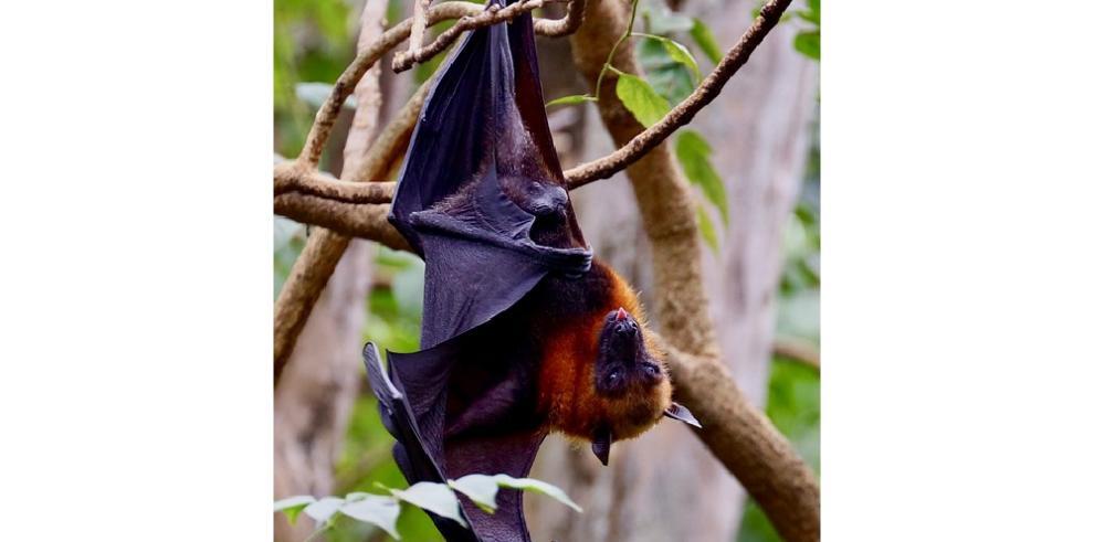 El murciélago, el pequeño gran desconocido de Galápagos