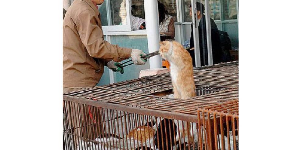 Insólito: Policía salva 500 gatos de ser sacrificados