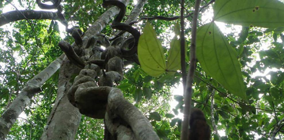 Las enredaderas frenan producción de semillas y frutos de los árboles