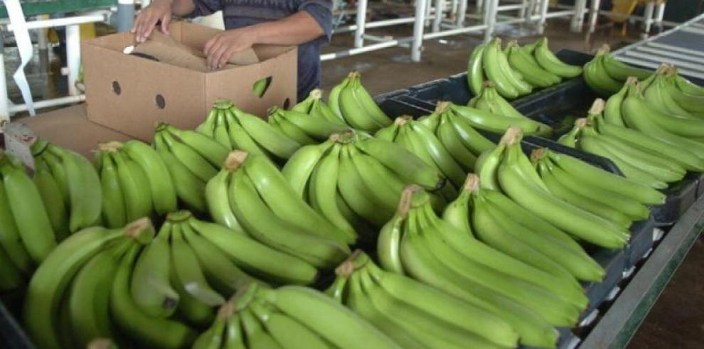 Bananeros analizan riesgos y oportunidades de los cambios en mercado europeo