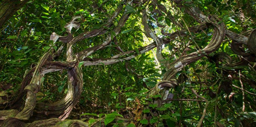 Las lianas, una amenaza para los bosques de América