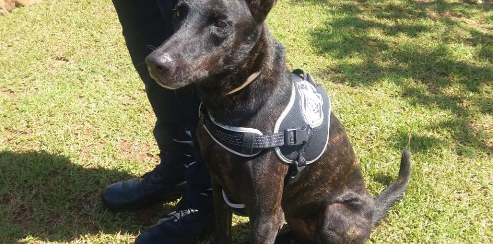 Canes de la PN, grandes aliados contra la delincuencia