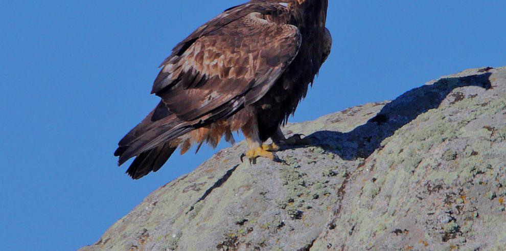 Águila Real marca territorio en Chihuahua