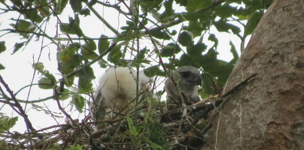 Nueva medida para la protección del Águila Arpía
