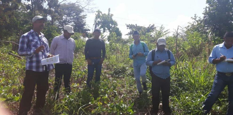 Mejoran rendimiento del ñame ante ataque de hongo en Darién