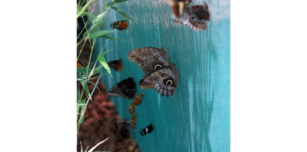 Las mariposas llegan a la ciudad de Panamá con el primer Mariposario