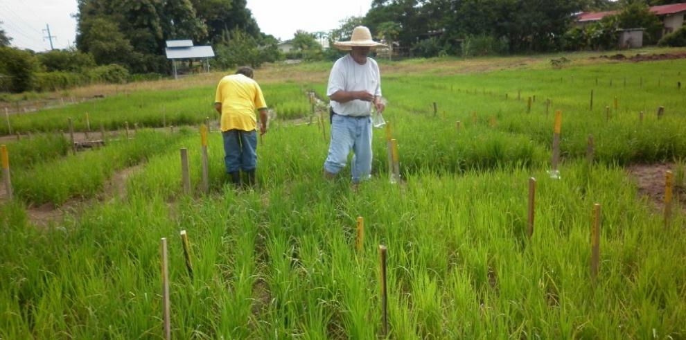 Uso pacífico de tecnología nuclear para mejorar el cultivo de arroz