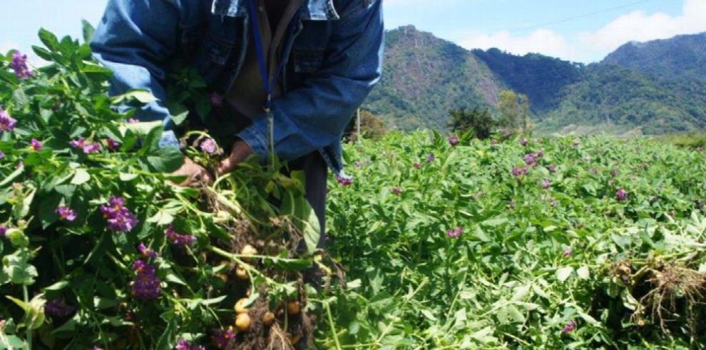 Centroamérica recibirá 70 líneas de papas