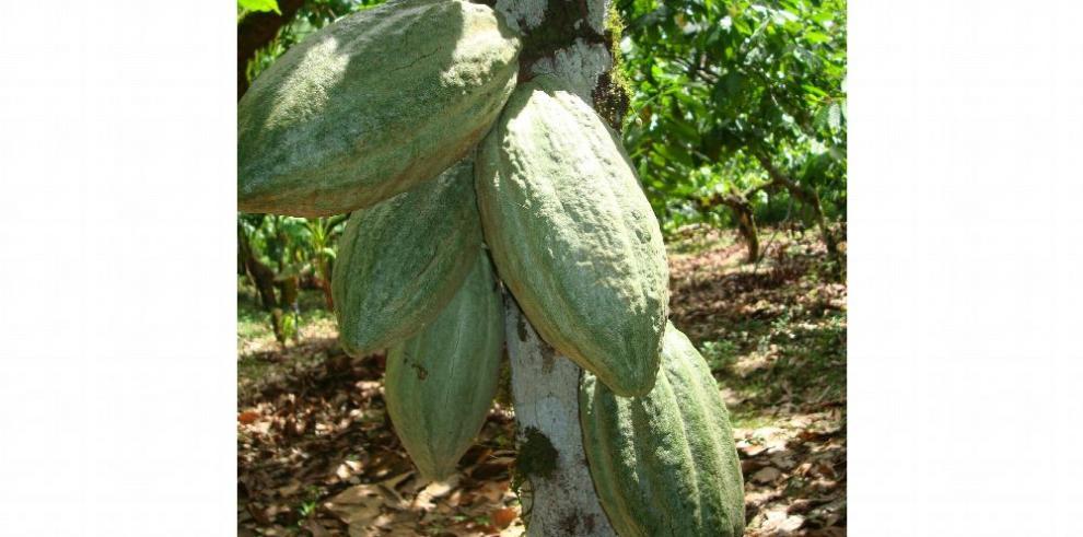 Nicaragua crea 'marca país' para su cacao