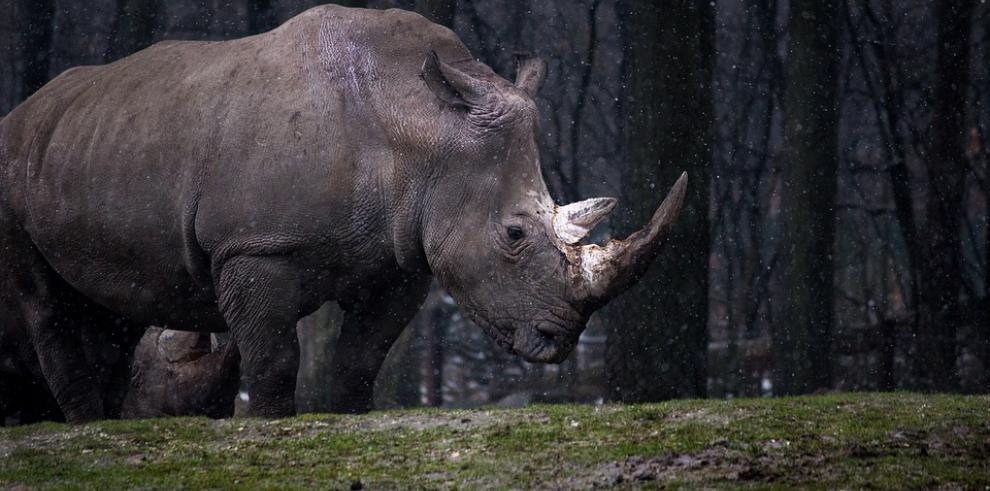 Rinoceronte de más de 50.000 años enseña un clima siberiano similar al actual