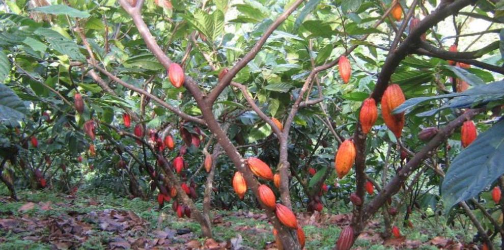 Buscan mejorar la producción y variedad de cacao