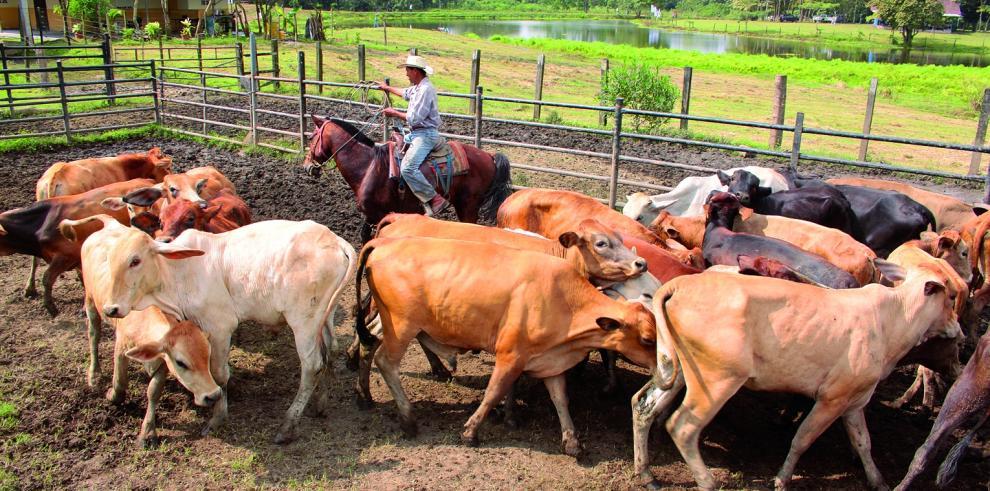 Caso de brucelosis bovina provoca auditoría en MIDA de Chiriquí