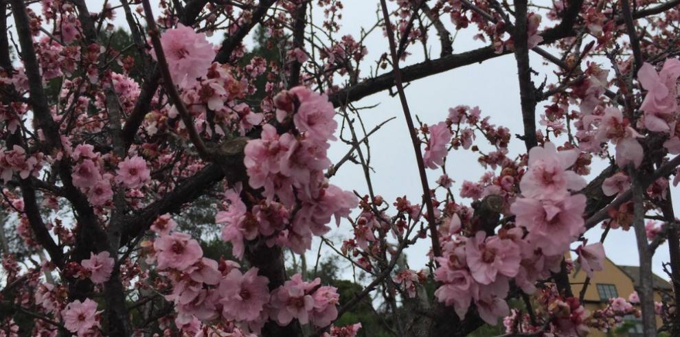 Festival de cerezos se adelanta por una primavera anticipada