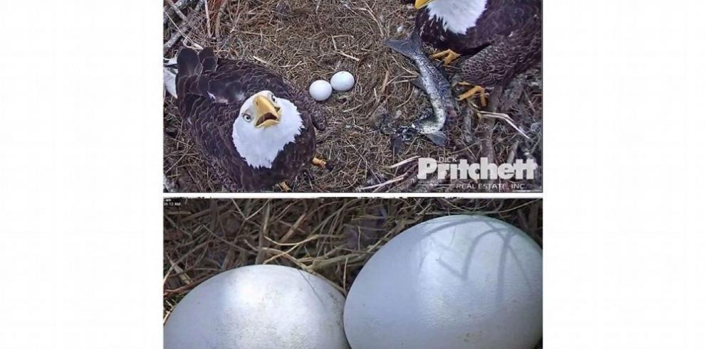 Internet sigue en vivo a águila para ver nacimientos