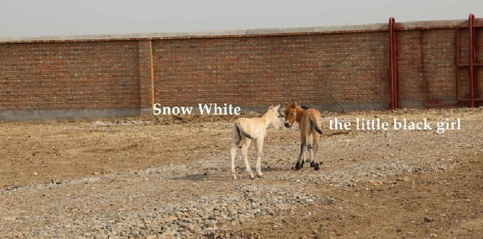 Nacen dos caballos de rara subespecie en noroeste de China